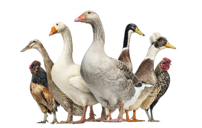 Differences Between Geese vs. Ducks and Other Poultry
