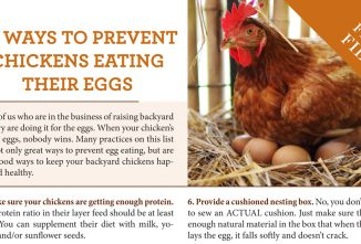 10 Ways to Prevent Chickens Eating Their Eggs
