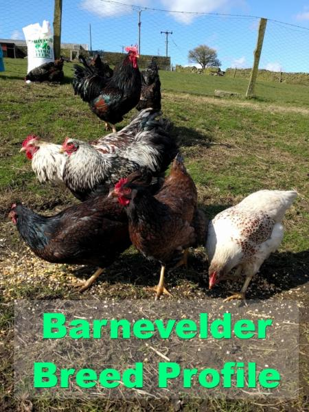 barnevelder-chickens-gold-blue-splash