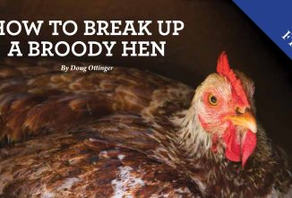 How to Break Up a Broody Hen