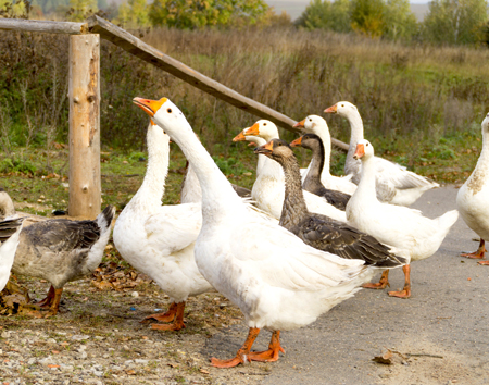 Ask the Expert: Geese