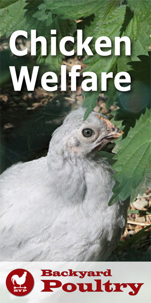 chicken-welfare