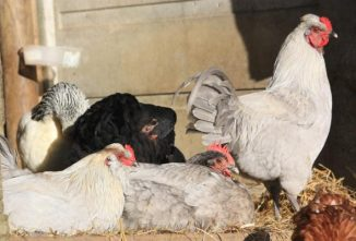Chicken Husbandry: Five Welfare Needs