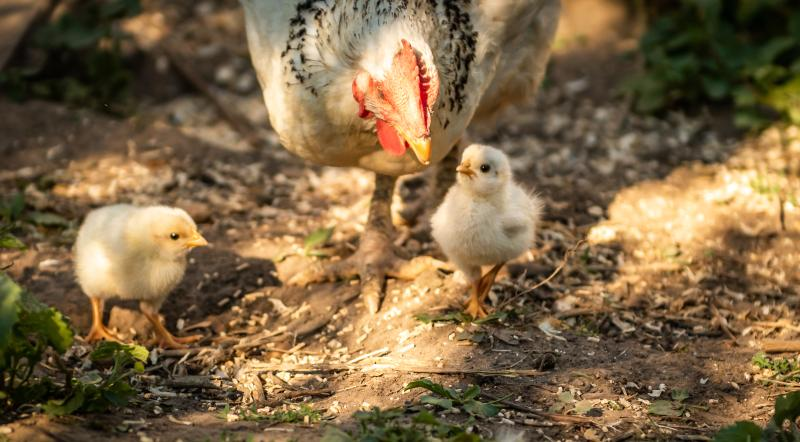 chicks-learn-from-mother-hen