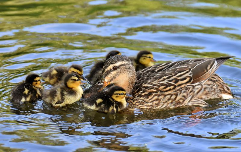 duckling-imprinting-on-mother-duck