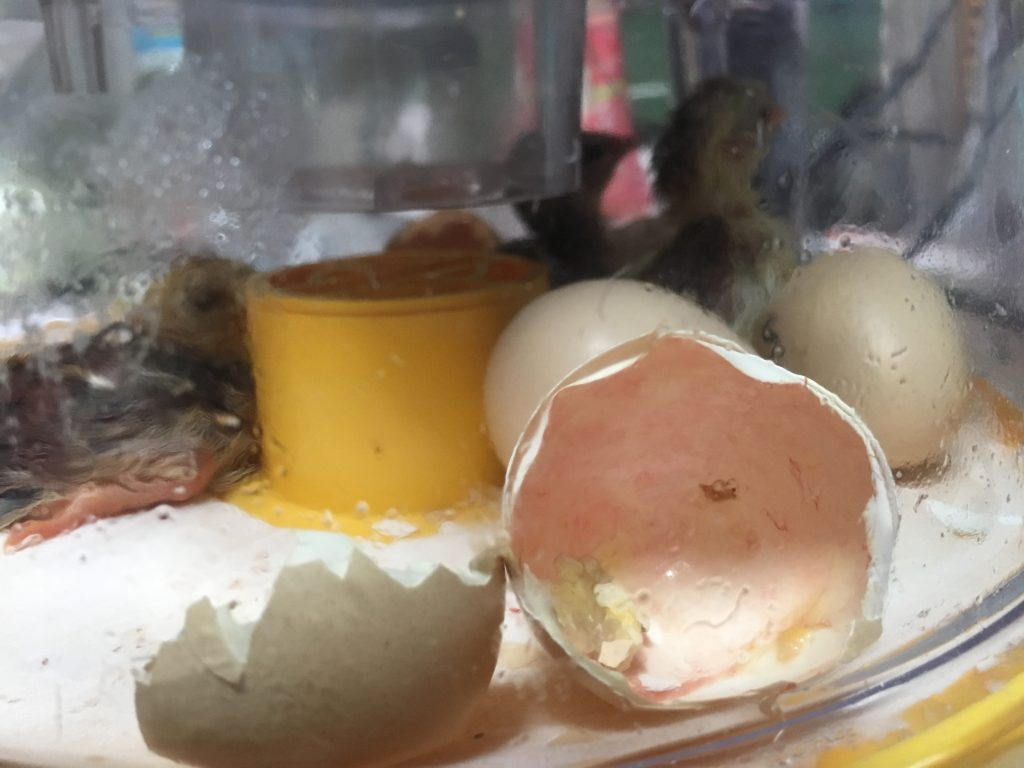 hatching-eggs-for-sale
