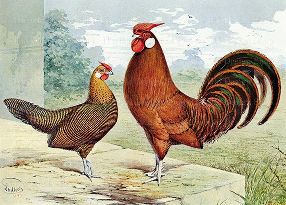 golden-penciled-hen-and-rooster