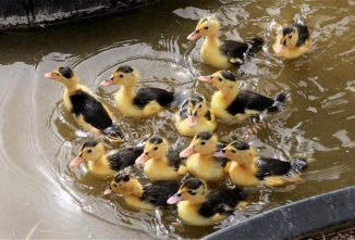 Four Threatened Duck Breeds
