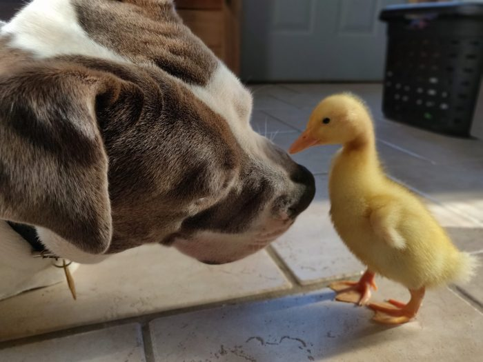The Secret Life of Poultry: Topper the Comeback Duck