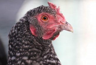 Breed Profile: Plymouth Rock Chicken