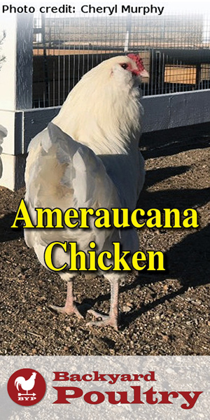 white-ameraucana-chicken