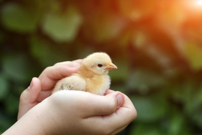 children hand holds cute yellow chicken