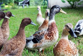 Raising Ducklings Eventually Leads To Combining Flocks