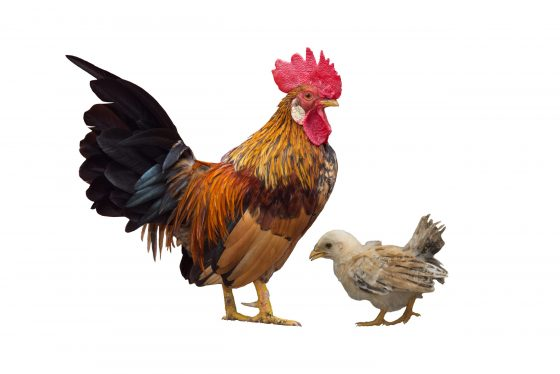 Rooster vs. Hen: Know Before They Crow