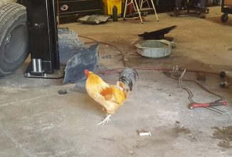 The Secret Life of Poultry: Earl the Shop Chicken
