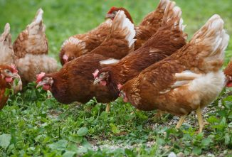 Nutritional Deficiencies in Chickens