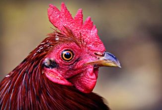 Do Chickens Have Full Color Vision?