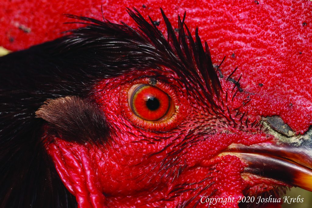 chicken-eye-infections