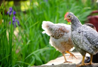 The Truth About Mycoplasma and Chickens