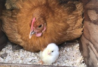 Fluffy – the Little Hen that Could