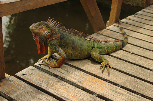 How Keeping a Green Iguana Can Help a Poultry Flock