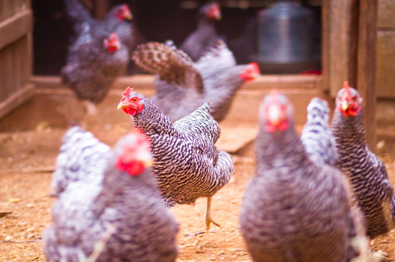 barred-plymouth-rock-chickens