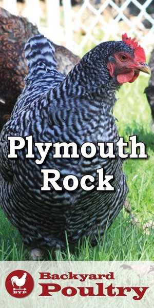 plymouth-rock-pin