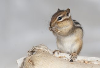 Rodents That Can Be a Problem for Backyard Chickens