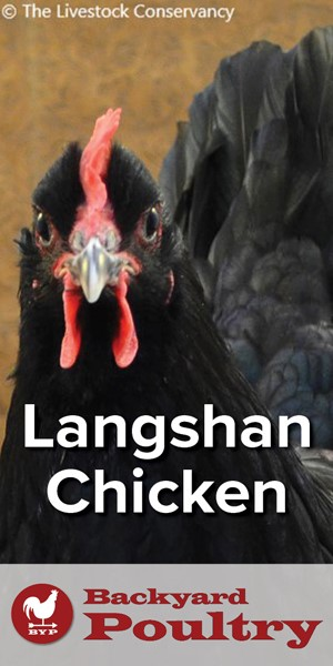 hen-with-title