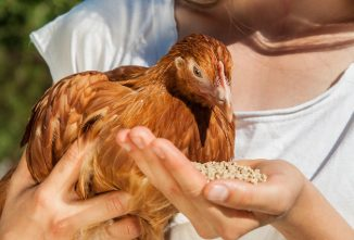 How to Feed Chickens Corn and Scratch Grains