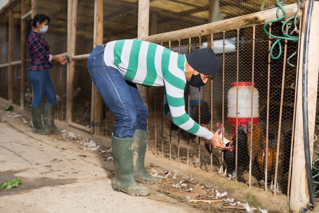chicken-diseases-that-affect-humans