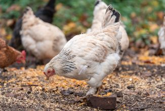 Avoiding Kidney Damage in Laying Hens