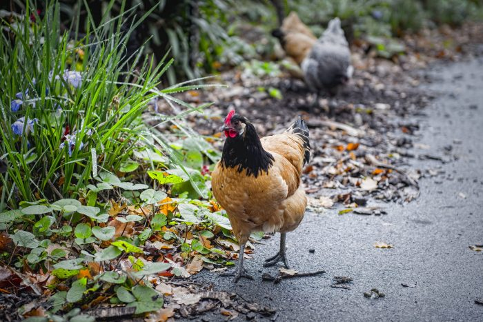 How Permaculture Chickens Improve Sustainability