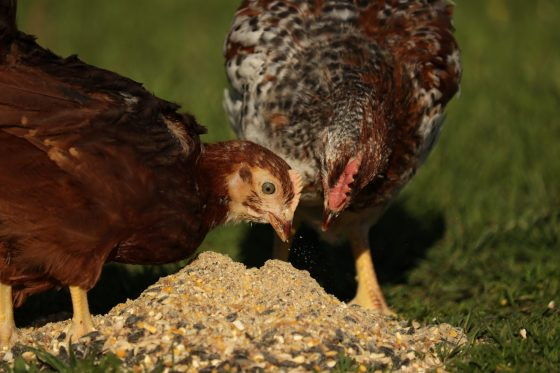 Protein and Enzymes in Organic Non-GMO Chicken Feed